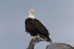 North American Bald Eagle Landing. Adult North American Bald Eagle Landing Stock Photography