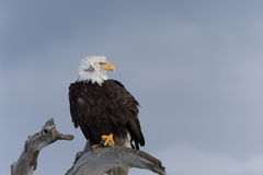 North American Bald Eagle Perched on Drift Wood Stock Photos