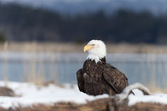 North American Bald Eagle in snow Royalty Free Stock Image