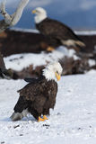 North American Bald Eagle in snow Stock Image