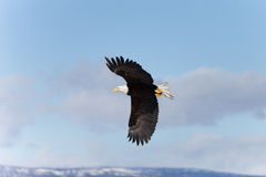 North American Bald Eagle Soaring Stock Photos