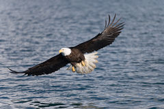 North American Bald Eagle Soaring Royalty Free Stock Photo