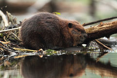 North American Beaver Stock Photos