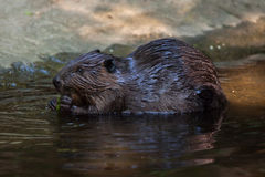 North American beaver Castor canadensis Royalty Free Stock Image