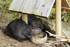 North American beaver, Castor canadensis, eating food stock photos