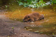 North American Beaver Castor canadensis Kit Crawls To Waters E Royalty Free Stock Images