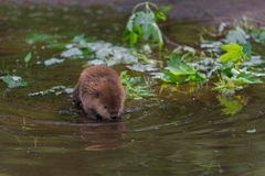 North American Beaver (Castor canadensis) Kit Looks Into Water Stock Image