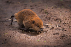 North American Beaver Castor canadensis Kit Runs Across Sand Stock Photo