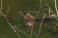 North American Beaver (Castor canadensis) Kit Under Branch Stock Photo