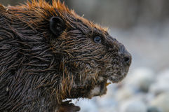 North American beaver (Castor canadensis) Royalty Free Stock Photos