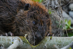 North American beaver (Castor canadensis) Royalty Free Stock Photography