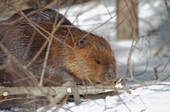 North American Beaver Castor canadensis royalty free stock photography