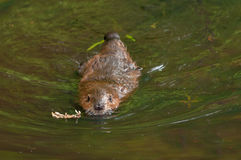 North American Beaver (Castor canadensis) Swims Forward Royalty Free Stock Image