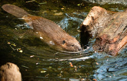 North American Beaver Castor Canadensis Wild Animal Swimming Dam Stock Photo