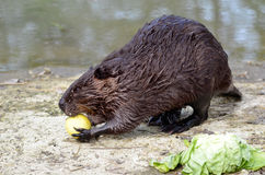 North American Beaver eating apple Royalty Free Stock Photos