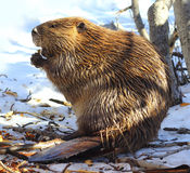 North American Beaver. Eating in the snow Stock Image