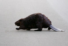 The North American beaver is going across the road Royalty Free Stock Image