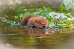 North American Beaver Kit Castor canadensis Flattens Out in Wa Stock Photo