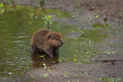 North American Beaver Kit Castor canadensis Stands at Edge of Stock Image