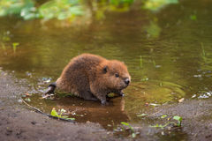North American Beaver Kit Castor canadensis Stands on Shorelin Royalty Free Stock Image