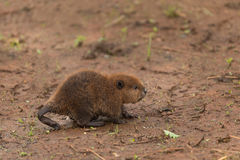 North American Beaver Kit Castor canadensis Walks Right with C Royalty Free Stock Photos