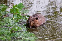 The North American beaver Royalty Free Stock Photos