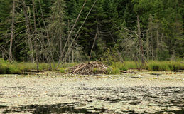 North American beaver lodge Royalty Free Stock Photography