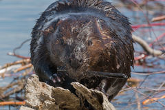 North American Beaver Royalty Free Stock Image