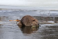 North American Beaver. Castor canadensis chewing on a stick for building a lodge in an icy pond during the winter.  It is semiaquatic and the largest rodent in Stock Images
