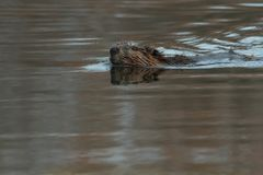 North American Beaver. Swimming in the open water. Tommy Thompson Park, Toronto, Ontario, Canada Stock Photos