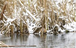 Beaver eats at riverside in winter Royalty Free Stock Photo