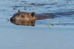 North American Beaver Royalty Free Stock Photography