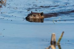 North American Beaver. Swimming in the marshy water. Carden Alvar provincial Park, Kawartha Lakes, Ontario, Canada Stock Image