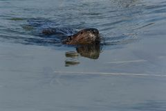 North American Beaver. Swimming on the surface of the water. Tommy Thompson Park, Toronto, Ontario, Canada Royalty Free Stock Image