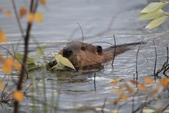 Free North American Beaver & X28;Castor Canadensis& X29; Eating,  Alaska Royalty Free Stock Photo - 159606605
