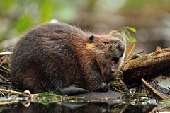 North American Beaver Yawning Royalty Free Stock Images