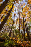 North American beech forest Royalty Free Stock Image