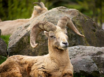North American Big Horn sheep Stock Image