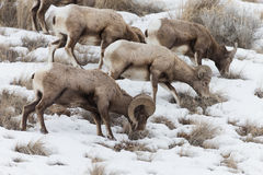 North American Big Horn Sheep Royalty Free Stock Photography