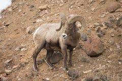 North American Big Horn Sheep Royalty Free Stock Photos