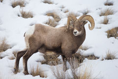 North American Big Horn Sheep Stock Photography
