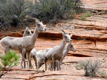 North American Bighorn sheep Stock Images