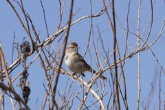 Chipping sparrow Spizella passerina is a species of American sparrow,. North American bird  perched on the branch tree royalty free stock photo