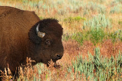 North American Bison Stock Photography