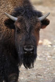 North American bison Royalty Free Stock Photography