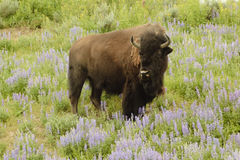 North American Bison Stock Image