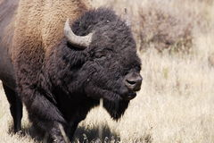 North American Bison. Portrait of north American bison facing right with light colored background Stock Images
