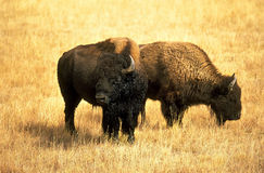 North American Bison. Buffalo (Bison bison bison Stock Photo