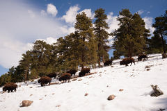 North American Bison Buffalo Roam Hillside Fresh Snow Blue Sky. Big Buffalo roam down into the valley from up high on the hill Royalty Free Stock Photography