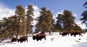 North American Bison Buffalo Roam Hillside Fresh Snow Blue Sky. Big Buffalo roam down into the valley from up high on the hill Royalty Free Stock Image